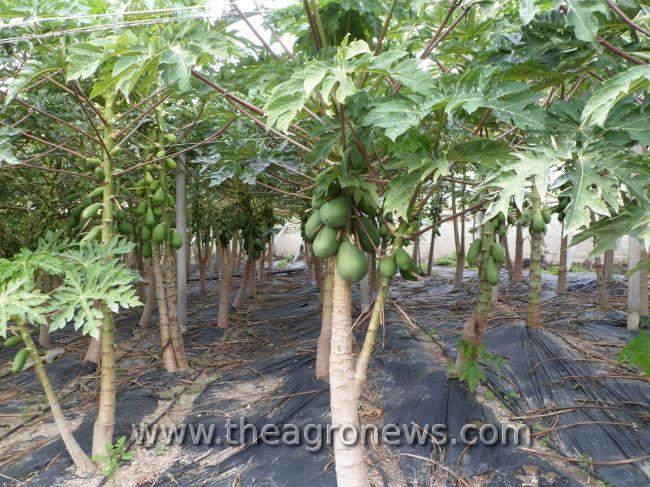 La papaya como cultivo alternativo para el invernadero / Papaya as an alternative crop for greenhouse