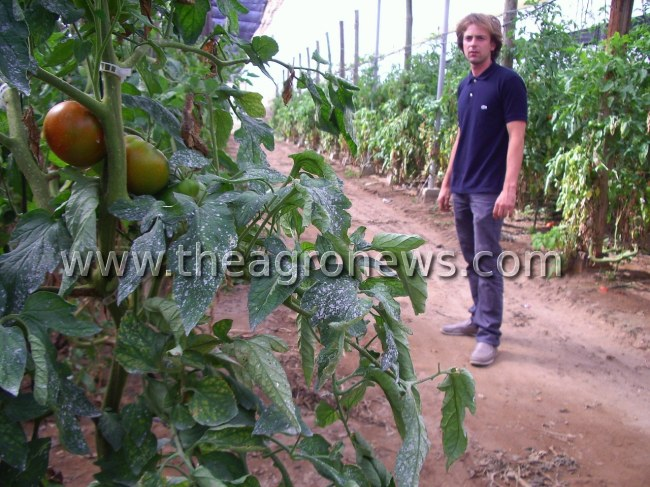 Los brokers del tomate, cuando no hay exclusividad / Tomato brokers, when there is not exclusivity