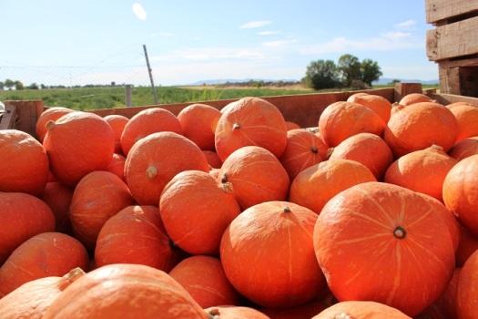 calabazas naranjas