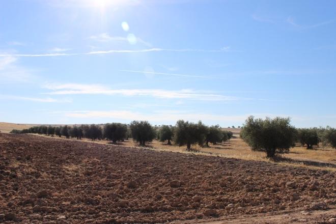olivar manchego