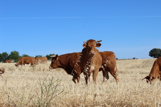 vaca manchega