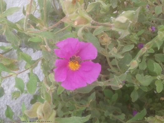 rockrose & honeybee & pollen baskests 901D