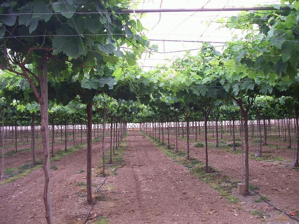 Murcia se queda con el monopolio de la uva - Variedades de uva de mesa ...