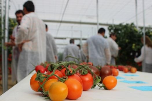8.- Experimental de tomate