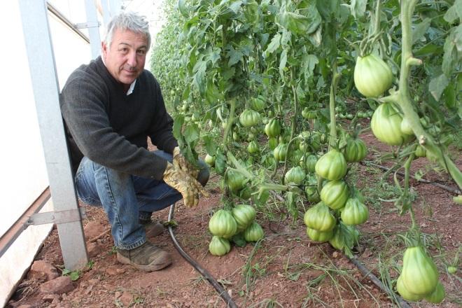 Un tomatero valenciano entre naranjos. III parte