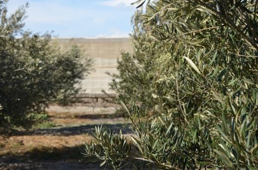 olivos e invernaderos