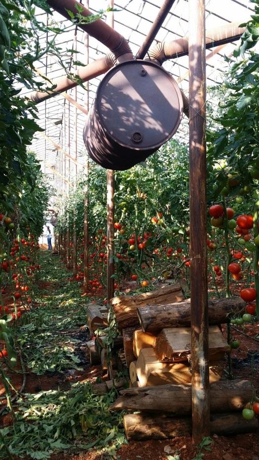 Invernadero de tomate con calefacción