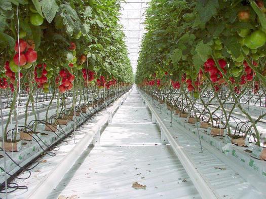 cultivo de tomate holandés