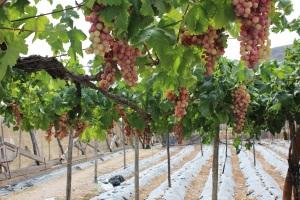Las últimas uvas de Berja