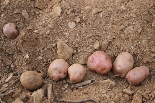 patatas rojas en la tierra